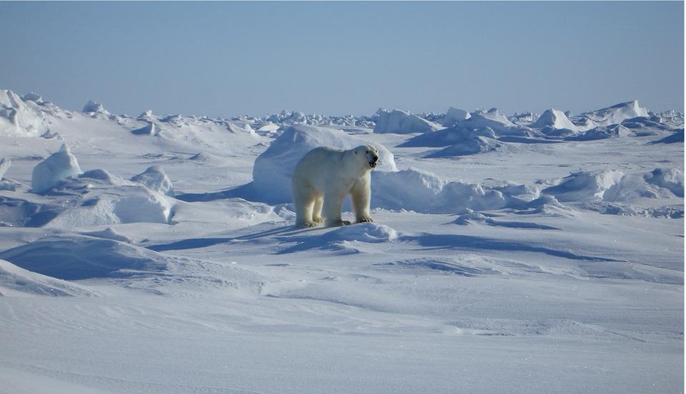 Arctic and polar bear