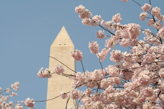 Top of Washington Monument against a blue sky with pink cherry blossoms blooming in the foreground